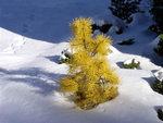 Pinus.contorta.ChiefJoseph.jpg