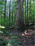 waslick_poplar_tree2.jpg