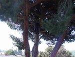 Resize of stone pine 3.jpg