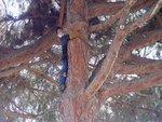 Resize of stone pine 4.jpg