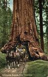 CA_Sequoia_Tree_Wawona.jpg
