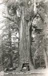 Chandalier_Tree_Underwood_Park_Redwood_Highway_CA.jpg