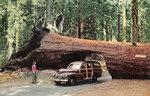 Redwood_Sequoia_NP_CA_Tunnel_Tree_1.jpg