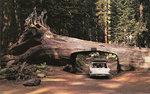 REdwoods_CA_Drive_Thru_Tree.jpg
