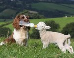 springer-spaniel-bottle-feeds-a-lamb-britain.jpg