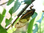 z_cicada_apple_tree_ovipositor.jpg