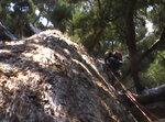 sequoiaGigantia2.JPEG