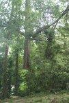 Cut Trees Sharer Road 8-2-08 106.jpg