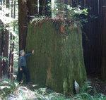 Old stump 1.jpg
