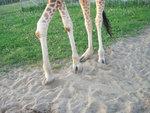 giraffe_feet2.jpg