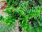 Araucaria bidwillii11.jpg