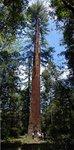 Coombs tree.jpg